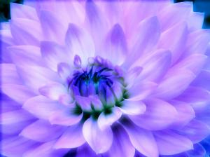DAHLIA DREAM Chosen As One Of 20 Macro Finalists In Michael Mavens Photo Contest